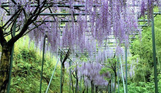 みやまの里ふじまつりってどんなお祭り?日本一長い1646mの藤棚ロード(和歌山/日高川町)