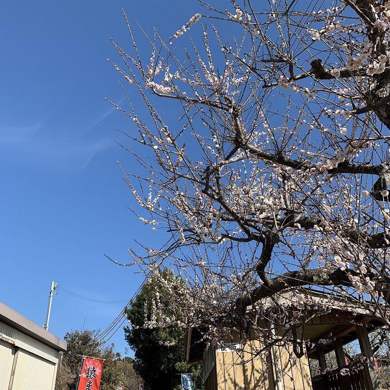 梅林公園の梅の様子